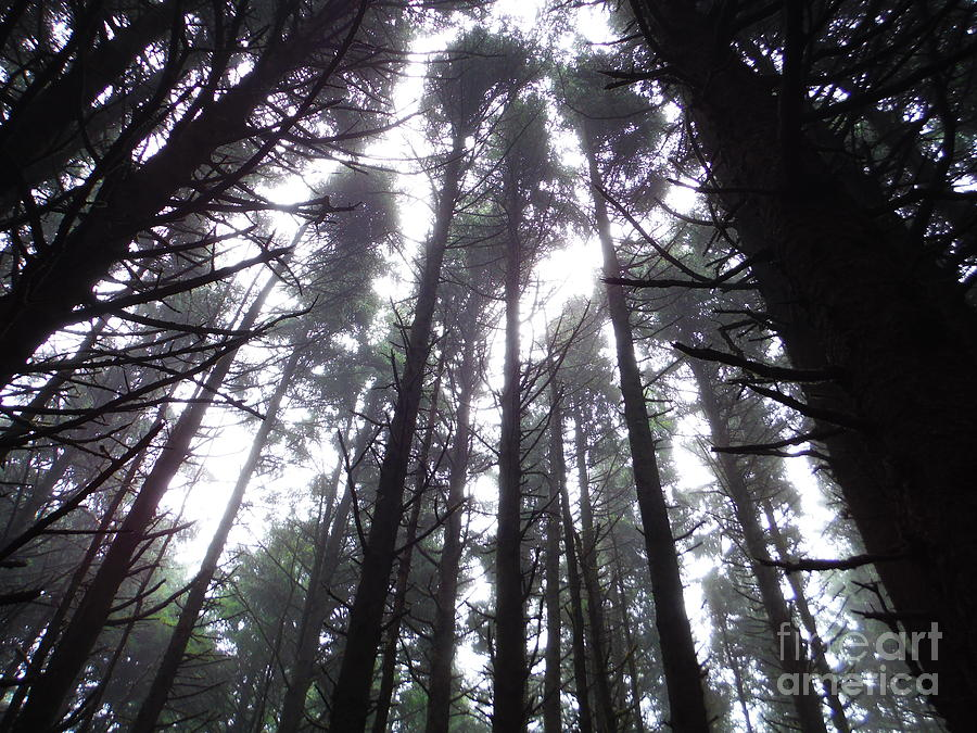 Oregon Pine Tops 2 by Paddy Shaffer