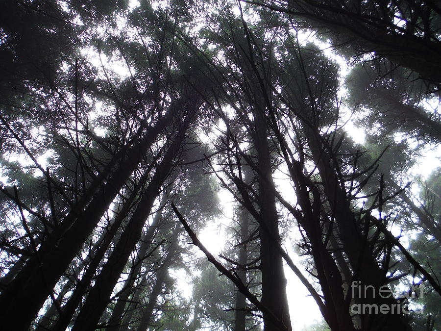 Oregon Pine Tops 3 by Paddy Shaffer