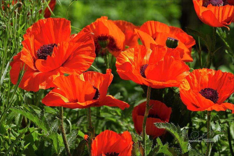Oriental Poppies by PiperAnne Worcester