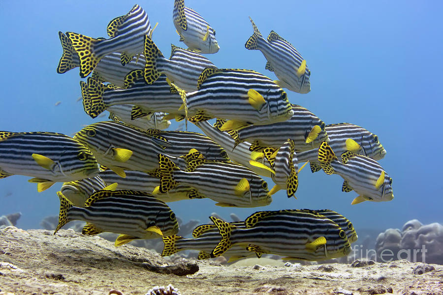 Oriental Sweetlips Photograph