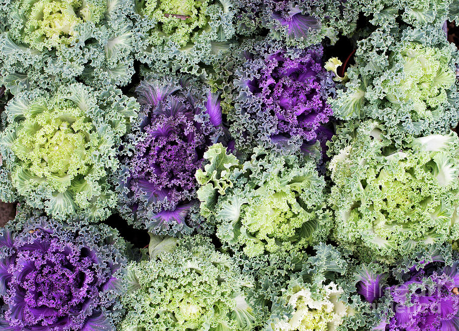 Ornamental Cabbages Photograph By Tim Gainey