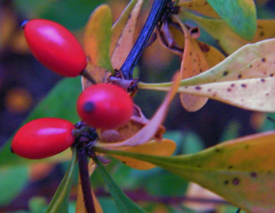 Ornamental Holly Bush Berries Autumn Indiana Photograph by ...