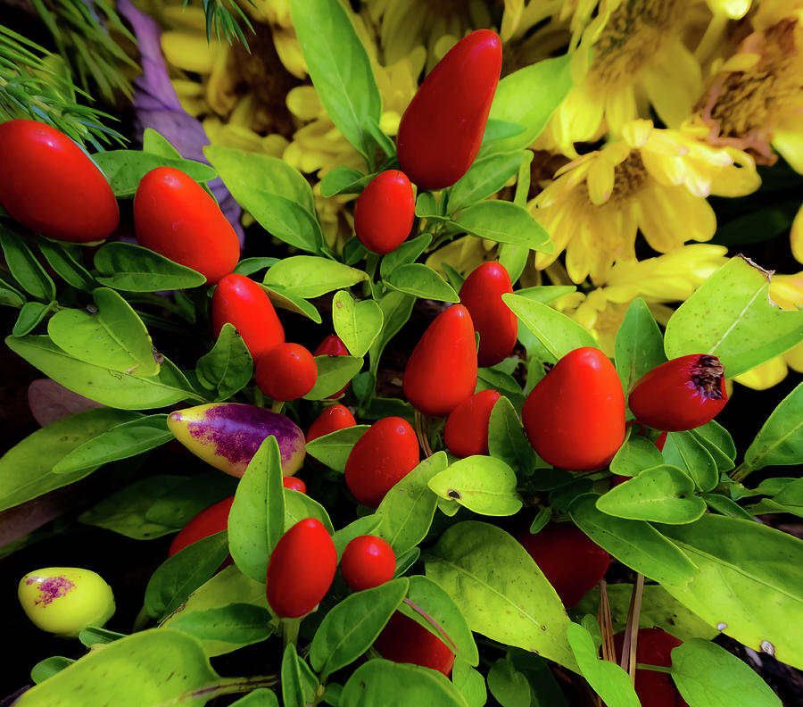 Ornamental Peppers Photograph