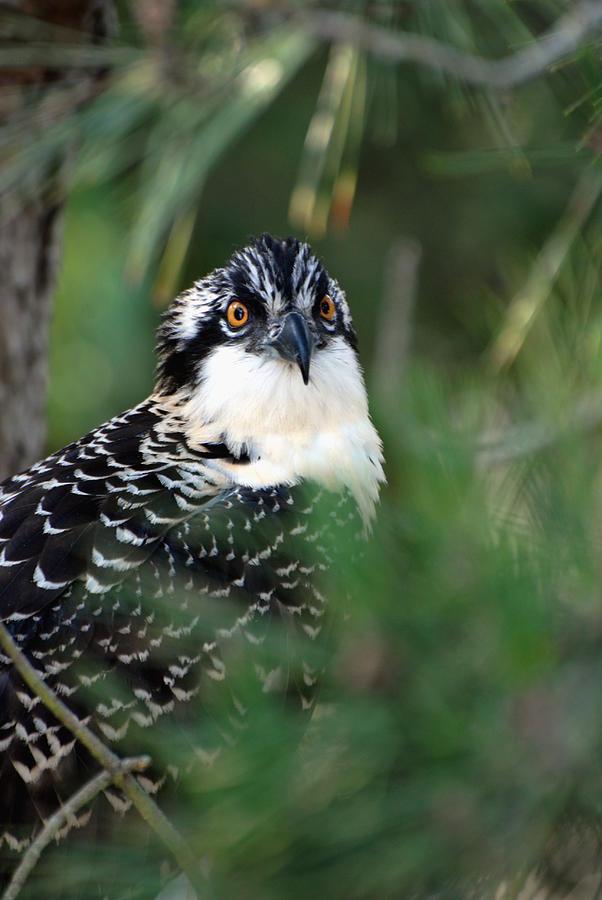 Osprey Photograph - Osprey 30 by Joyce StJames