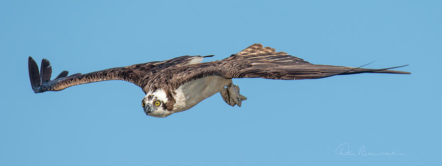 Osprey 3649 Photograph