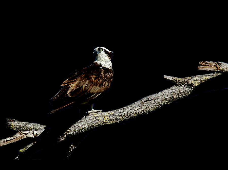 Osprey 4 by David Weeks