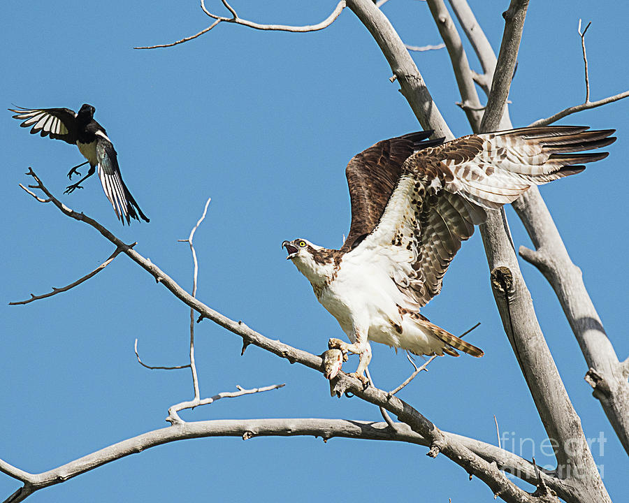 Bird Photograph - Osprey And Black Billed Magpie by Dennis Hammer