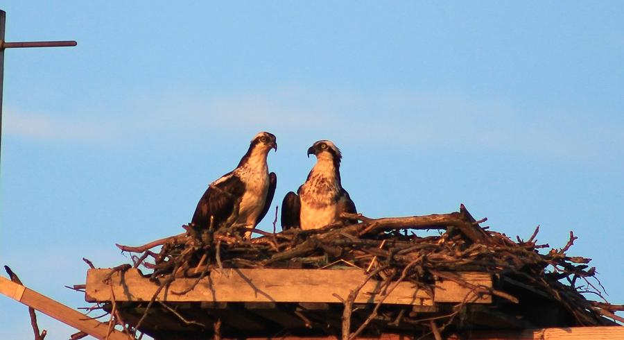 New York Photograph - Osprey At Home by Karen Silvestri