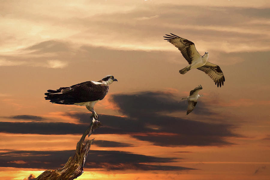 Osprey At Sunset Photograph