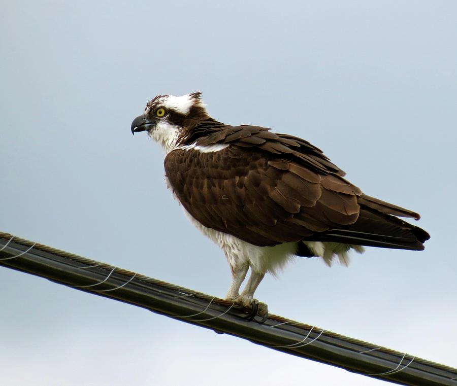 Bird Photograph - Osprey by Azthet Photography