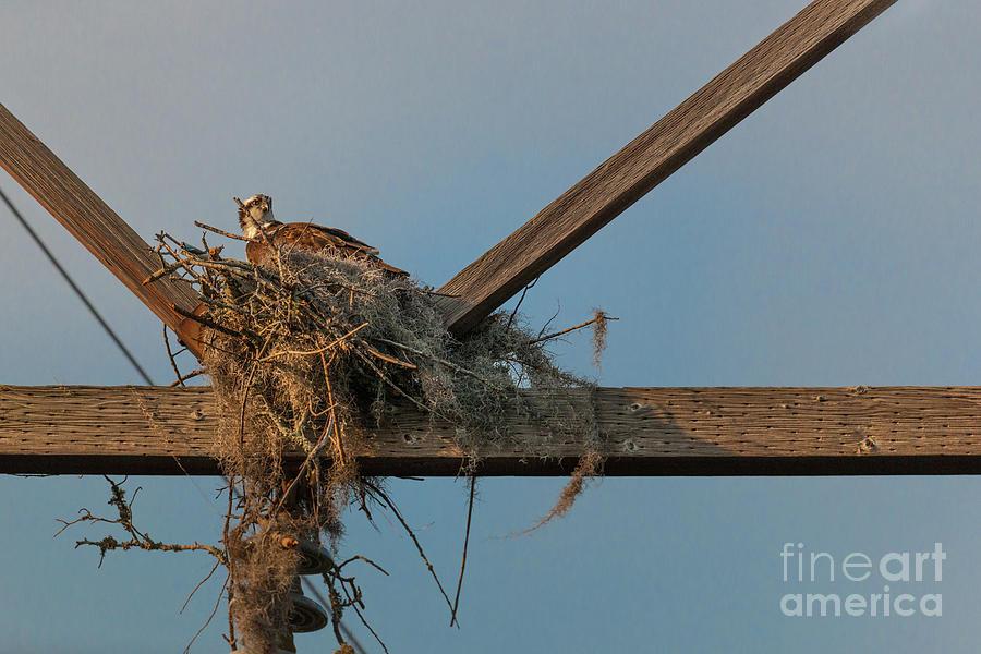 Osprey Photograph - Osprey Building Nest by Dale Powell