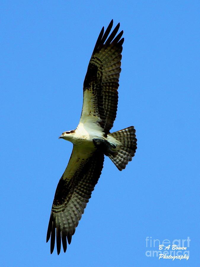 Osprey Photograph - Osprey Carrying A Fish by Barbara Bowen