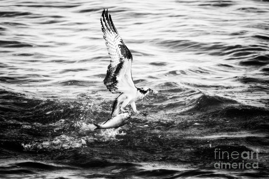 Osprey Photograph - Osprey Catch by Michael McStamp