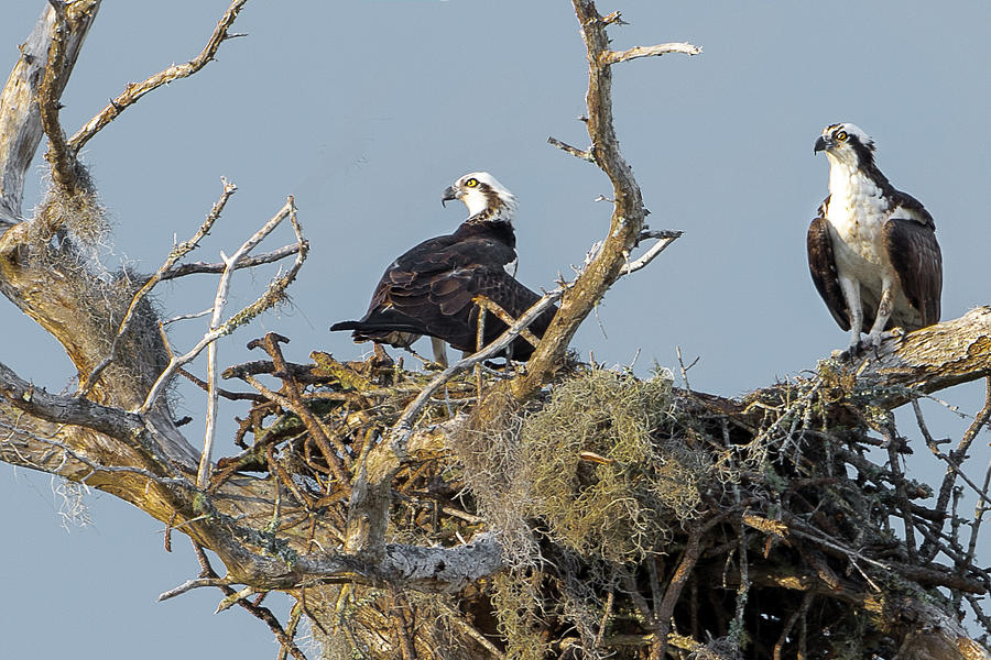 Osprey Family by Norman Peay