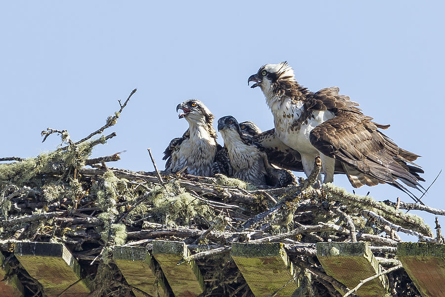 Osprey Photograph - Osprey Family Portrait No. 2 by Belinda Greb