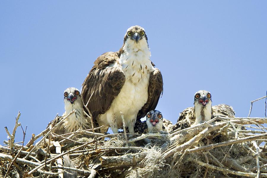 Osprey Photograph - Osprey Family Portrait by Patrick M Lynch