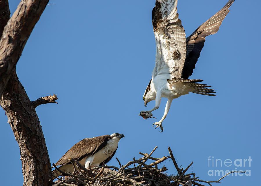 Osprey feeding time by Brad Marzolf Photography