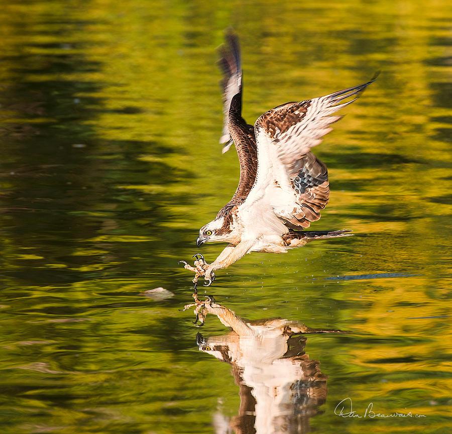 Osprey Fishing 2595 Photograph