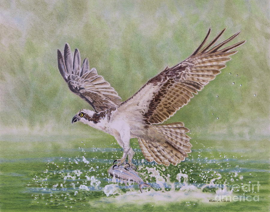 Osprey Fishing by Elaine Jones