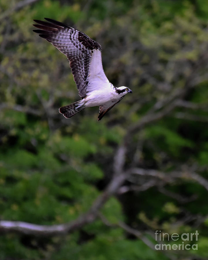 Osprey Flapping Wings in Flight by Cynthia Staley