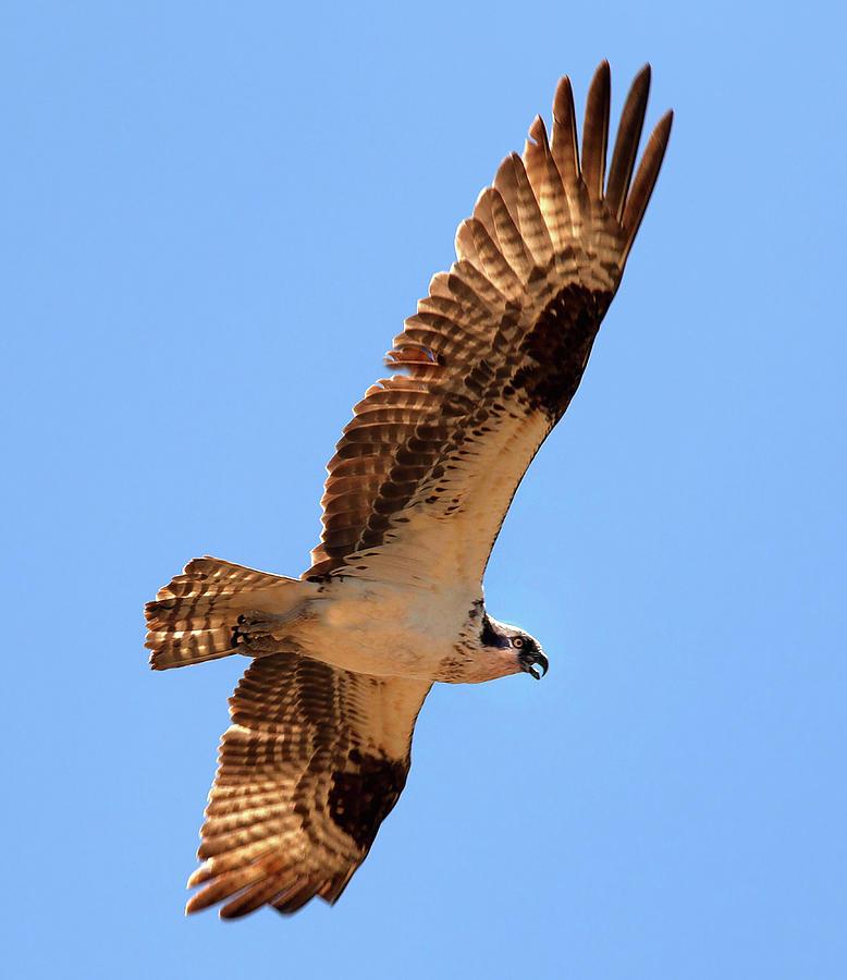Osprey by Floyd Hopper