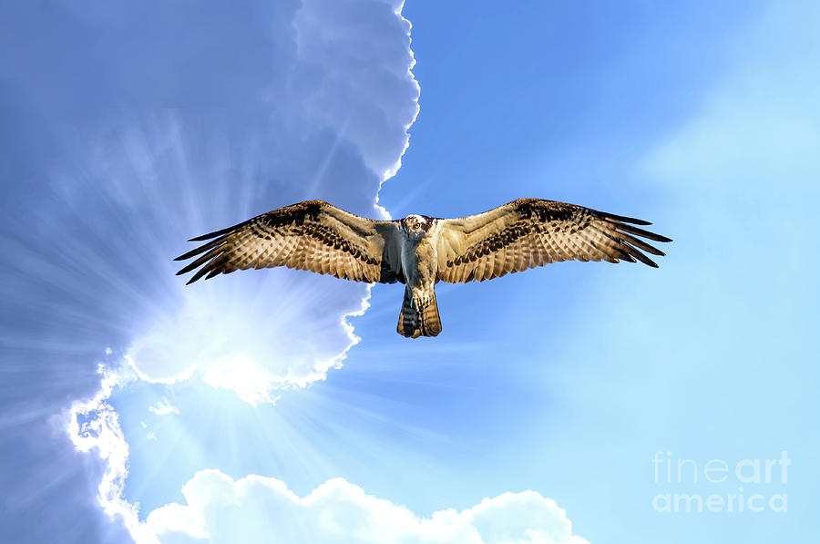 Osprey flying in cloudy sky with sunrays under the wing by Patrick Wolf