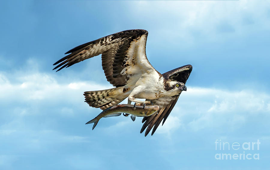 Osprey flying with large fish in talons by Patrick Wolf