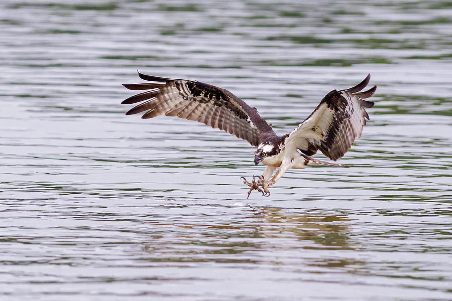 Osprey Going for Breakfast by Lori Coleman