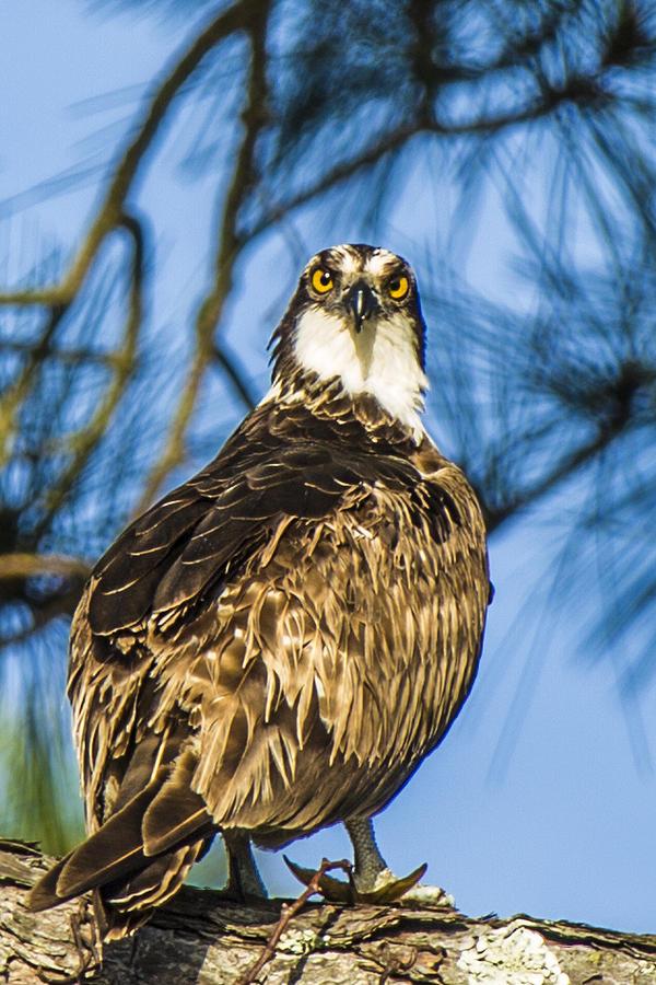 The Face Of God Photograph - Osprey Head Turn by Paula Porterfield-Izzo