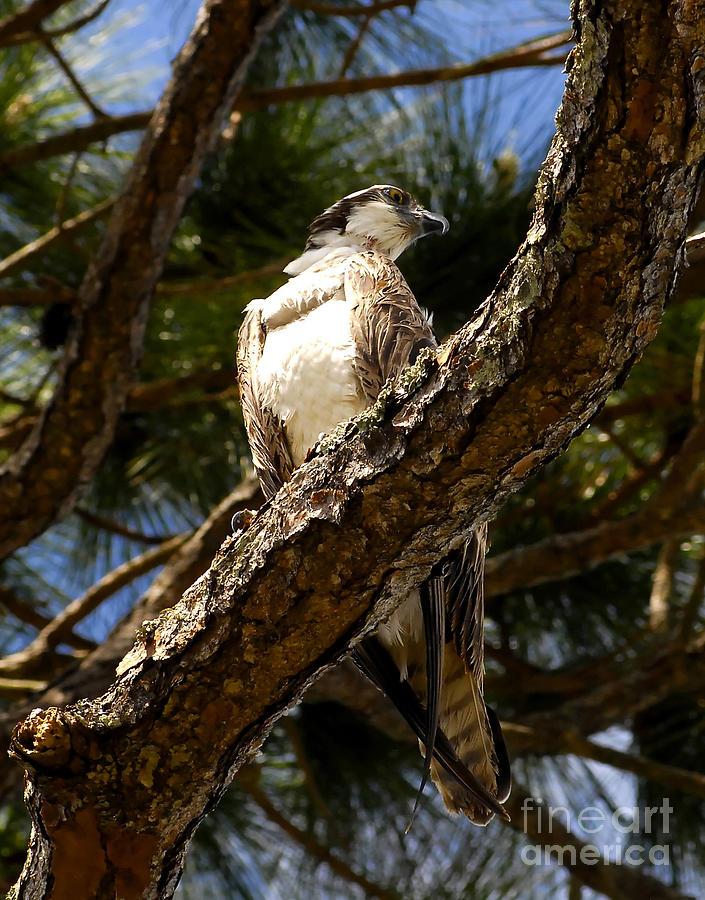 Osprey Photograph - Osprey Hunting by David Lee Thompson