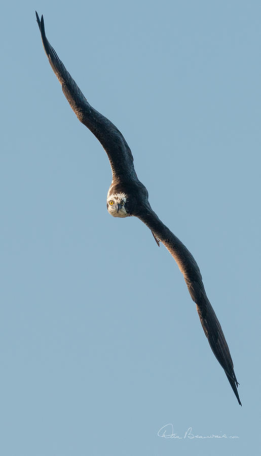 Osprey In A Tight Turn 2521 Photograph