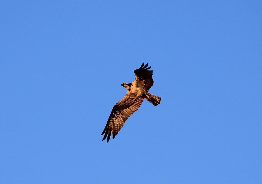 New York Photograph - Osprey In Flight by Karen Silvestri