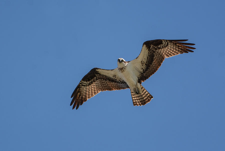 Osprey In Flight Pickwick Dam Tennessee 031620161594 Photograph