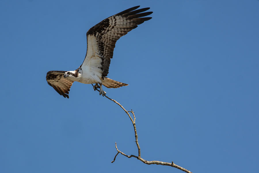Osprey In Flight With Stick For Nest 031620160906 Photograph