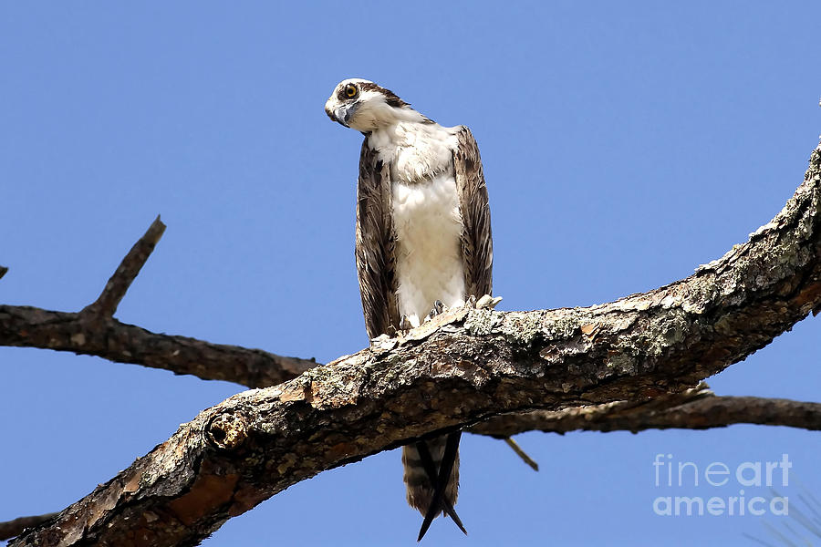 Osprey Photograph - Osprey In The Trees by David Lee Thompson