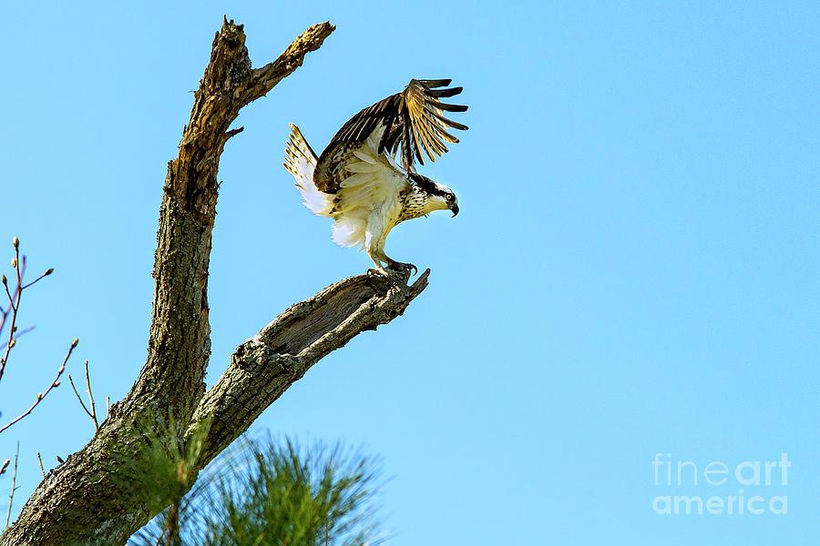 Osprey Photograph - Osprey Landing by Eric Killian