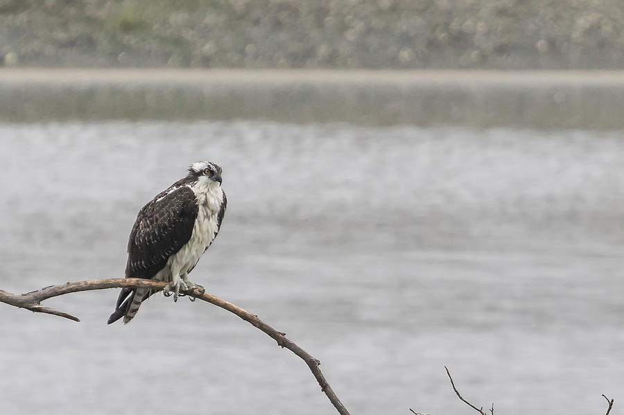 Osprey Photograph - Osprey Looking Over The Rogue River by Belinda Greb