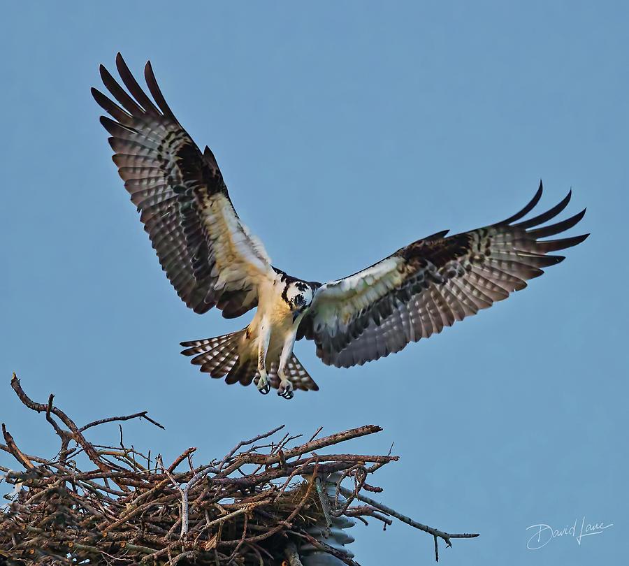 Osprey Nest Landing by David A Lane