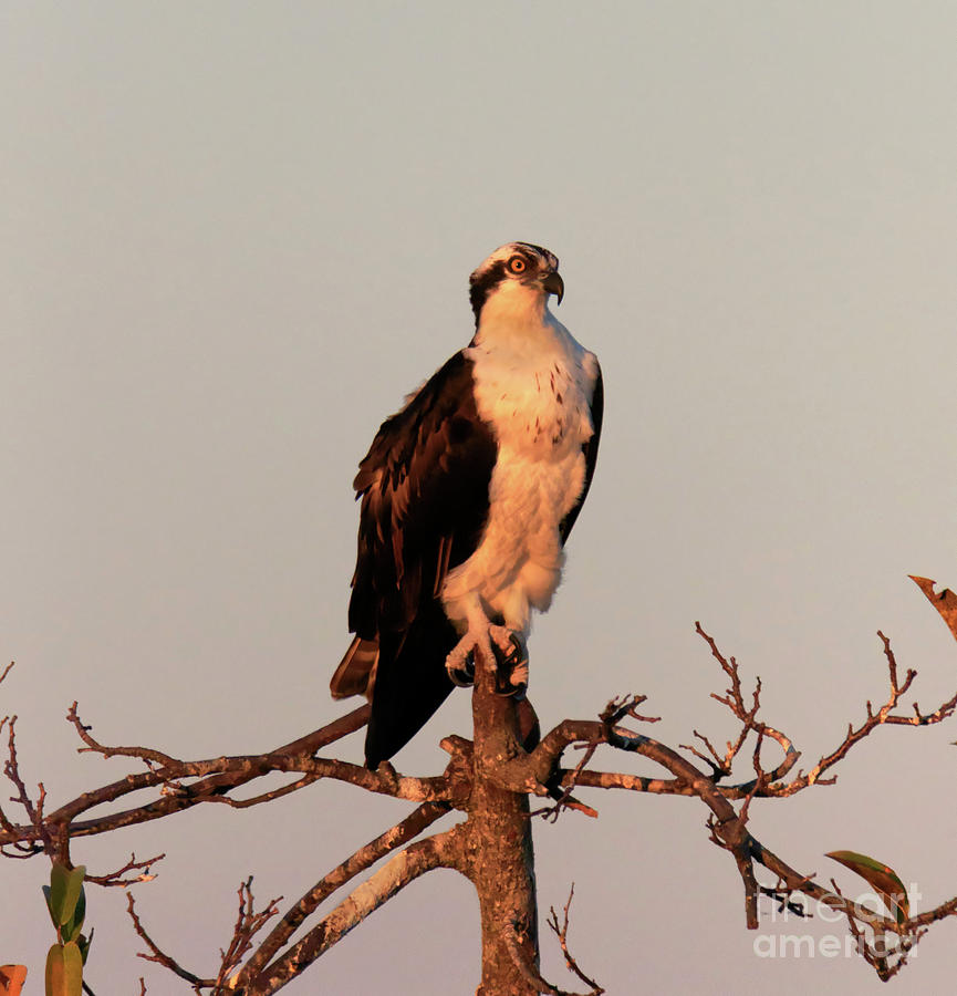 Osprey Photograph - Osprey On The Caloosahatchee River In Florida by Louise Heusinkveld