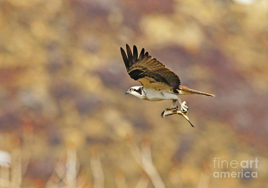 Bird Photograph - Osprey On The Wing With Fish by Dennis Hammer