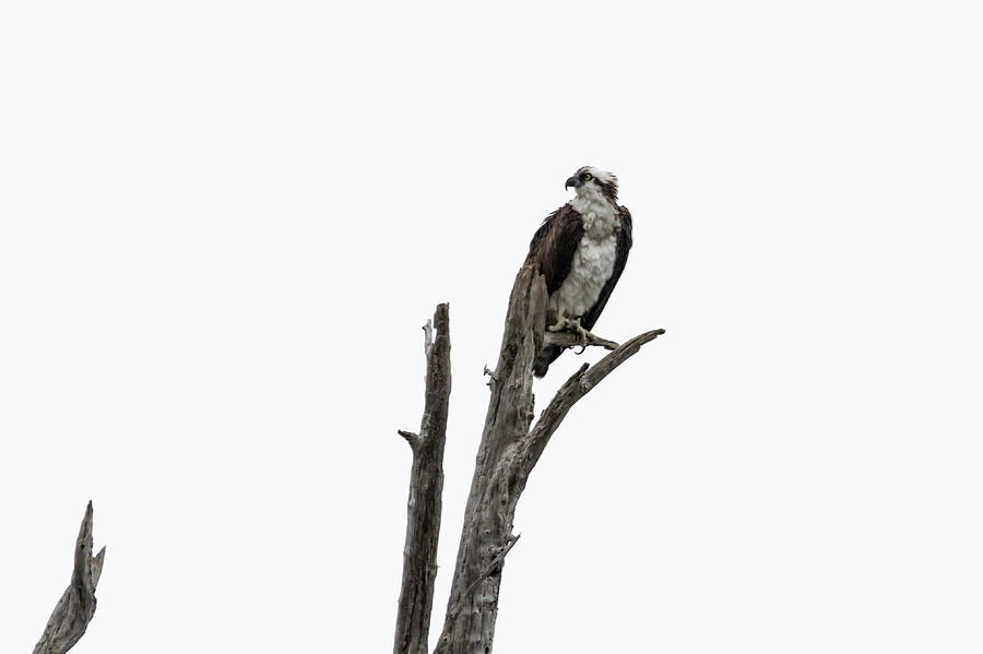 Osprey Photograph - Osprey Perched Above The Rogue River by Belinda Greb
