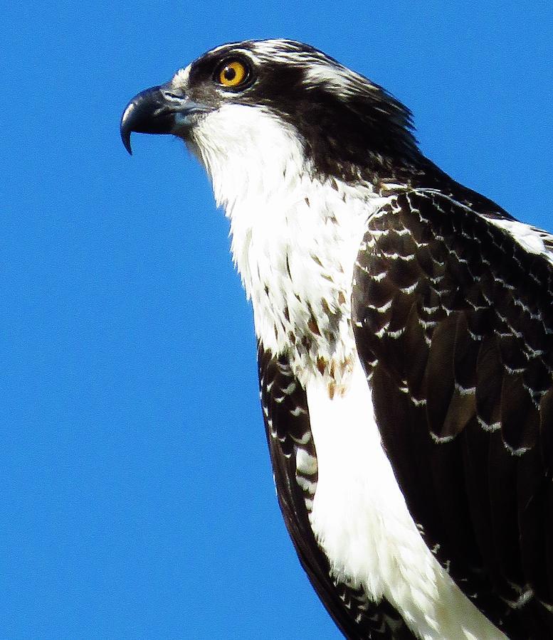 Osprey Photograph - Osprey Profile by Lori Frisch