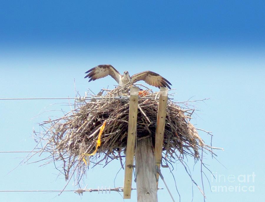 Osprey Photograph - Osprey by Rick Maxwell