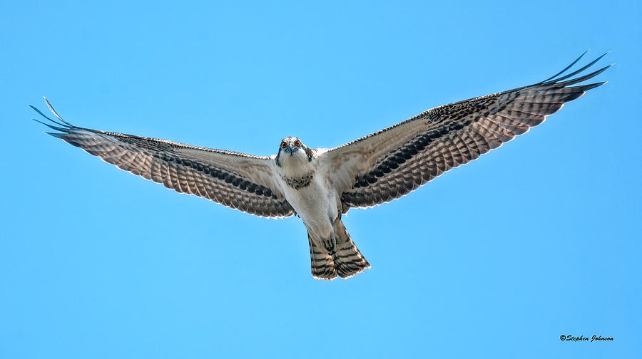 osprey wingspan photograph by stephen johnson