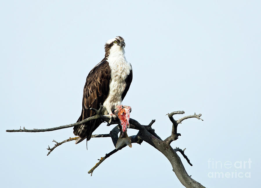 Osprey with dinner by Shannon Carson