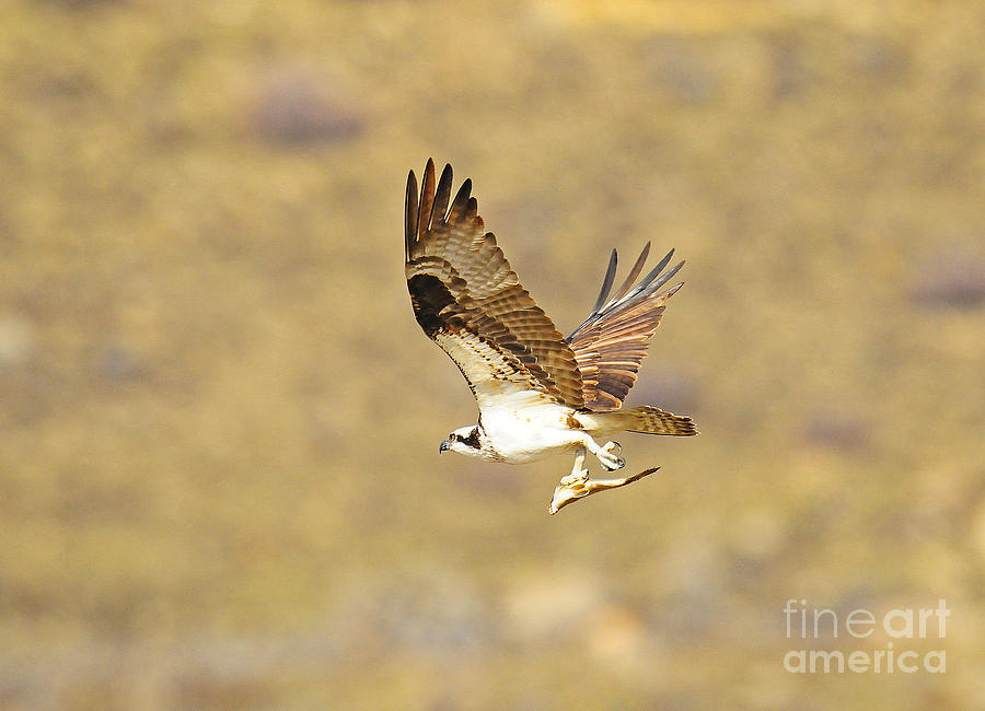 Bird Photograph - Osprey With Fish by Dennis Hammer