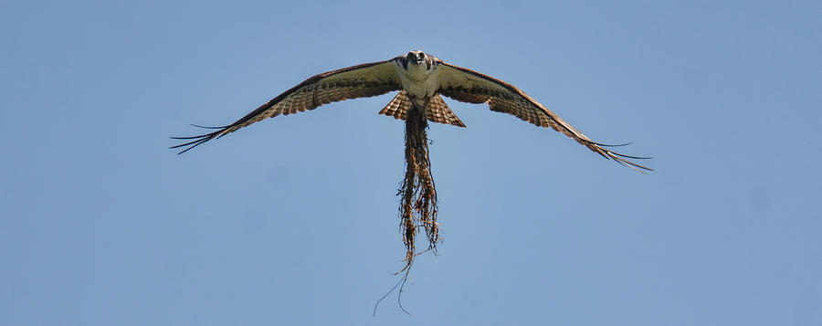 Jai Johnson Photograph - Osprey With Nesting Material 031620161500 by WildBird Photographs