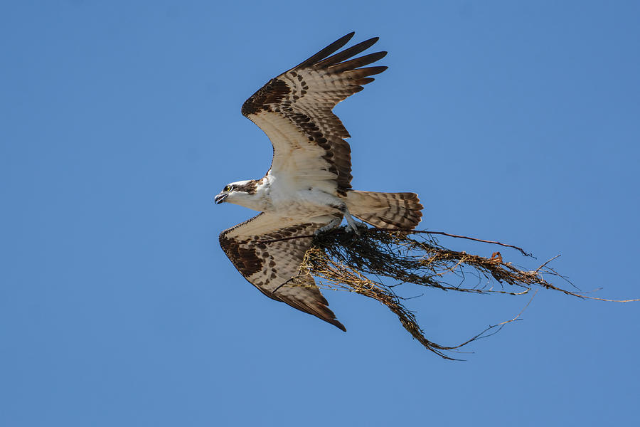 Osprey With Nesting Material 031620161559 Photograph