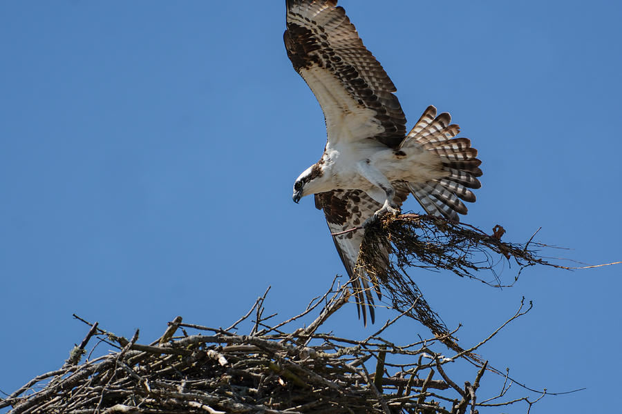Osprey With Nesting Material 031620161567 Photograph