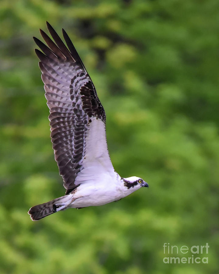 Osprey with Wings Extended by Cynthia Staley